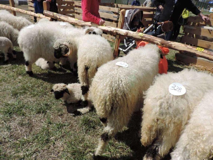 Schaf- und Ziegenausstellung Tarsch