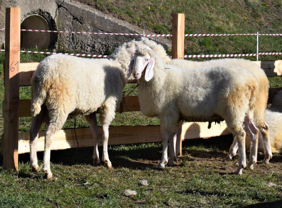 Jubiläumsausstellung 25 Jahre Schaf- und Ziegenzuchtverein Vöran