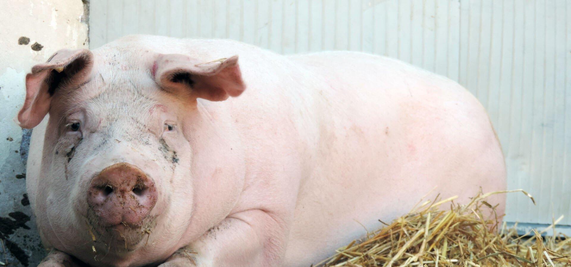 kleintierzucht-suedtirol-schweine