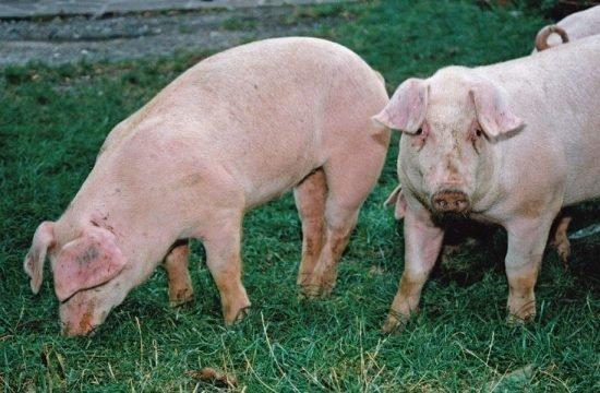 Schweinezucht: die Nutztierassen Südtirols