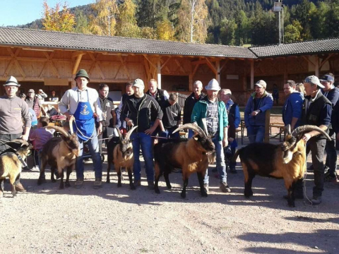 Schaf-und-Ziegenausstellung-des-SZV-Mölten-2