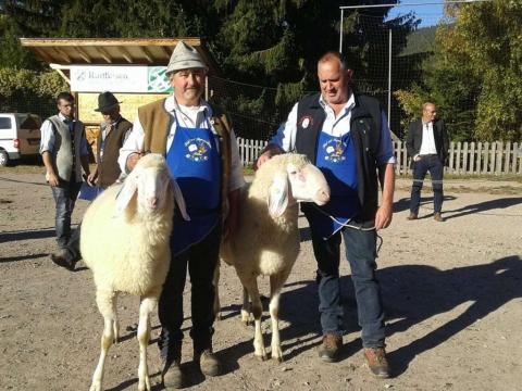 Schaf-und-Ziegenausstellung-des-SZV-Mölten-3