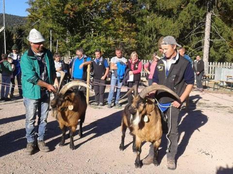 Schaf-und-Ziegenausstellung-des-SZV-Mölten-5