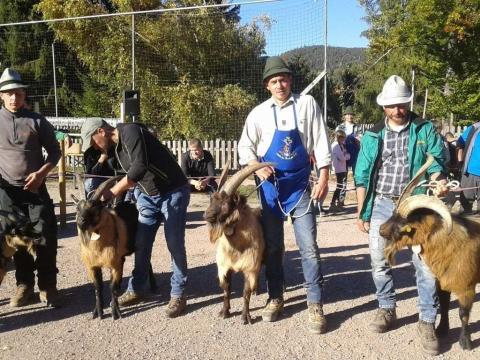 Schaf-und-Ziegenausstellung-des-SZV-Mölten-6
