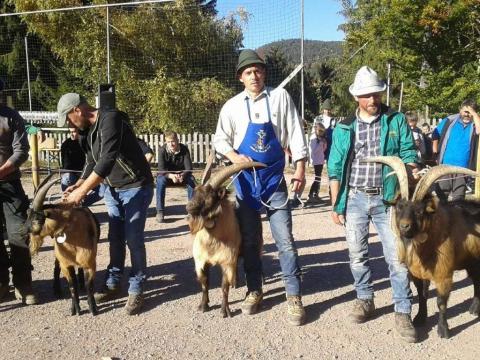 Schaf-und-Ziegenausstellung-des-SZV-Mölten-7